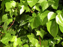 Ivy leaves Stock Image