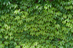 Ivy leaves. Green ivy leaves, ivy covered wall, horizontal Stock Photo