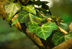 Ivy Leaves Stock Photos