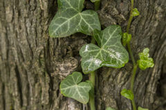 Ivy Leaves Stockfoto