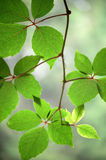 Ivy leaves Royalty Free Stock Photo