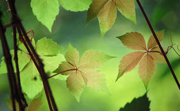 Ivy Leaves. Beautiful ivy leaves in the garden in summer Royalty Free Stock Photography