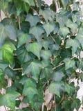 Ivy Leaves Imagem de Stock Royalty Free