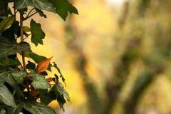 Ivy Leaves Royalty-vrije Stock Afbeeldingen