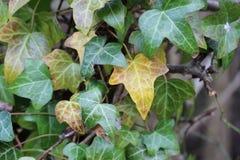 Ivy Leaves Imagen de archivo libre de regalías