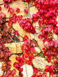 Ivy leaves in autumn Stock Photo