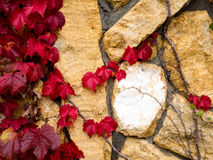 Ivy leaves in autumn Royalty Free Stock Photography