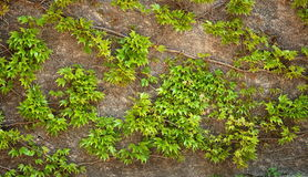 Ivy leaves Stock Photography