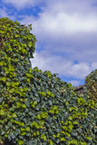 Ivy leaves and blue sky Royalty Free Stock Image