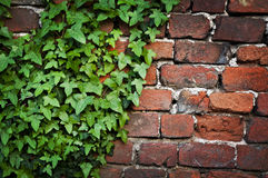 Ivy leaves brick wall texture. Stock Photos