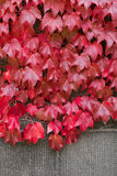 Ivy leaves on the brick wall turning from green to Autumn red sh Royalty Free Stock Photo