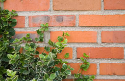 Ivy leaves on bricks background Royalty Free Stock Images