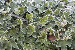 Frost on Ivy Leaves Stock Image