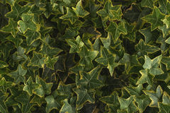 Ivy leaves detail, macro photography of hedera, green plant detail.  Stock Photo