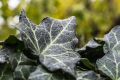 Ivy leaves with dew and raindrops Royalty Free Stock Photography