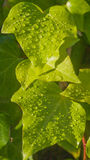 Ivy leaves with drops of rain Royalty Free Stock Photography