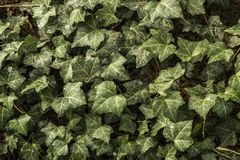 Ivy leaves. Ever green ivy leaves texture stock photography