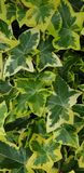 Ivy leaves green Background royalty free stock photography