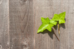 Ivy leaves growing out of a wooden garden fence Royalty Free Stock Photo