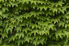 Ivy leaves growing on the wall royalty free stock photography