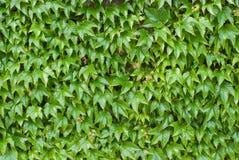 Ivy Leaves - Hintergrund Stockfotografie