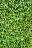 Ivy Leaves - Hintergrund Stockfotos