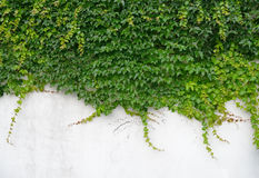 Ivy leaves isolated on wall Royalty Free Stock Photography