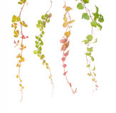 Ivy leaves isolated on wall Royalty Free Stock Images