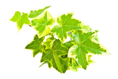 Ivy leaves isolated on white. Close-up of  poecilophyllous hedera helix ivy leaves isolated on white Stock Images