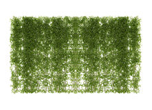ivy leaves isolated on a white stock photos
