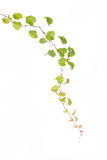 Ivy leaves isolated Royalty Free Stock Photography
