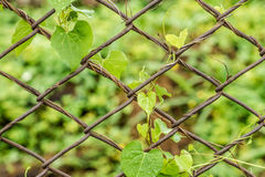 Ivy leaves on metal mesh fence Stock Image