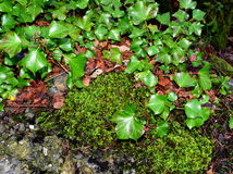 Ivy leaves and moss Stock Photography
