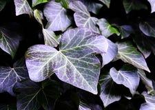 Ivy Leaves With Natural Purple toner arkivbilder