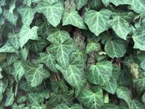Ivy leaves Royalty Free Stock Images
