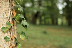Free Ivy Leaves On A Tree Trunk Royalty Free Stock Image - 34440416