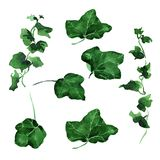 Ivy leaves ornament. Hand drawing watercolor green Ivy leaves ornament Royalty Free Stock Photo