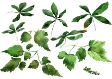 Ivy leaves ornament. Hand drawing watercolor green Ivy leaves ornament Stock Photography