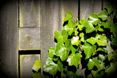 Ivy leaves over old plank Royalty Free Stock Photography