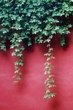 Ivy Leaves on red wall Royalty Free Stock Photos