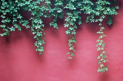 Ivy Leaves on red wall Royalty Free Stock Images