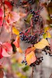 Ivy leaves and seeds have turned red during a few weeks in the autumn season , Close up view of Hedera helix, english ivy,. The leaves color  have turned various Royalty Free Stock Photo