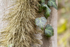 Ivy leaves and stem. Natural background with ivy leaves and hairy rootlets on bark Royalty Free Stock Photos