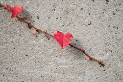 Ivy leaves on stoned wall in autumn Stock Photo
