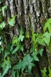 Ivy Leaves strisciante sulla corteccia muscosa Fotografie Stock