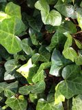 Ivy leaves texture. Here is a nature texture of ivy leaves Royalty Free Stock Photo