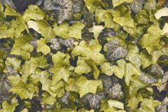 Ivy leaves texture Stock Photography