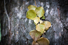 Ivy leaves on tree trunk Stock Image