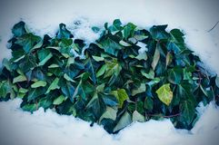 Ivy leaves under the snow stock image