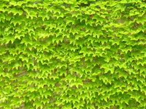 Ivy leaves on wall. Ivy leaves growing thick on a wall Royalty Free Stock Image